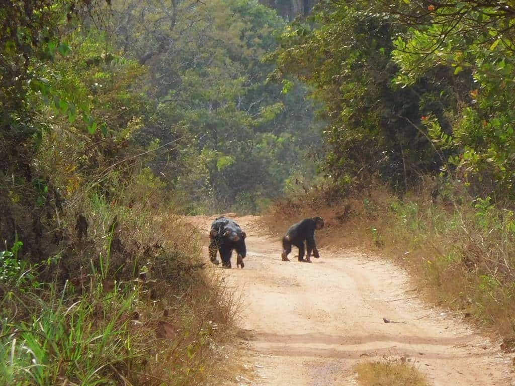 Chimpances Cantanhez Guinea Bissau
