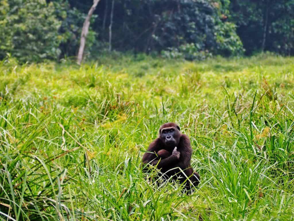 Gorilas gemelos Dzanga Sangha