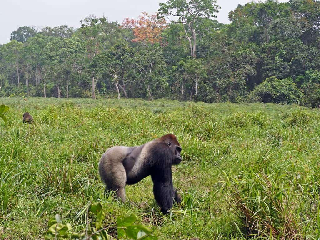 Visit western lowland gorillas