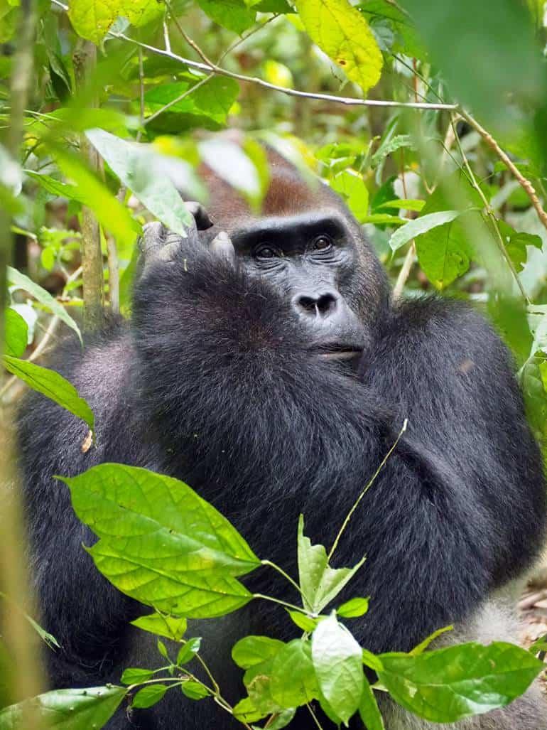Gorilas en Dzanga Sangha