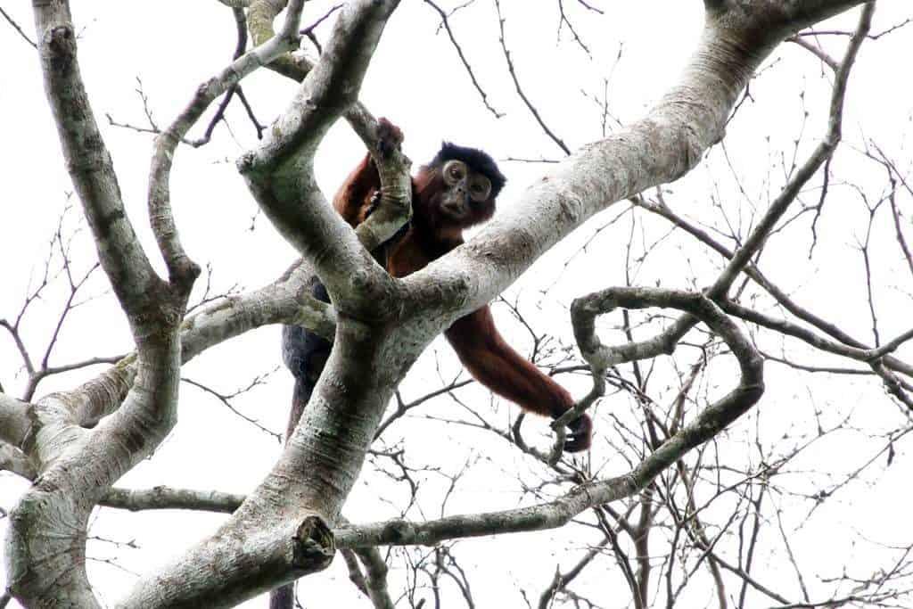 Red colobus en Tiwai Island