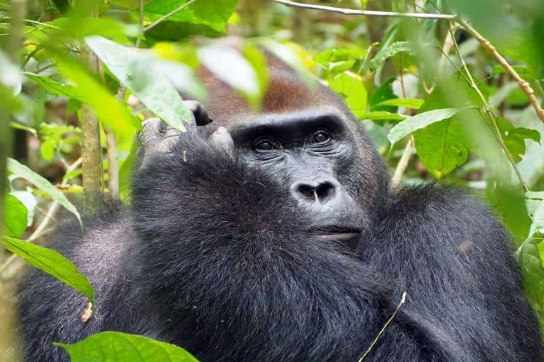 Donde ver gorilas en Africa