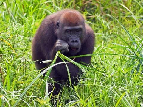 Viajes gorilas Africa