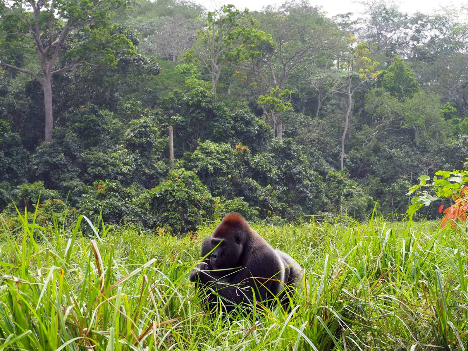 Low land gorillas Dzanga Sangha