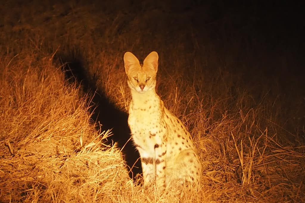 Serval Africa