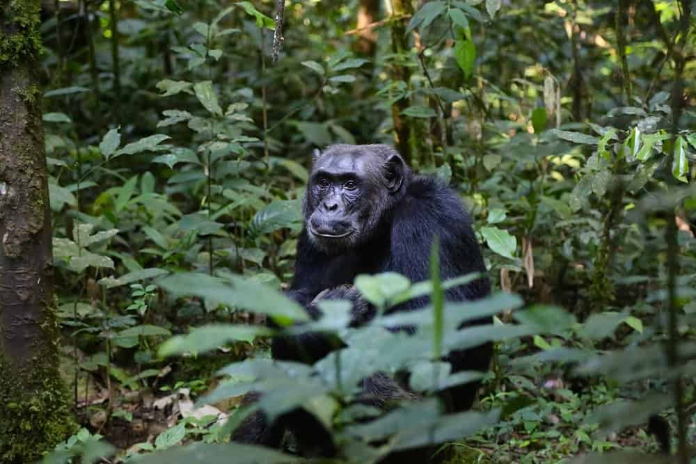Chimpances Africa Occidental
